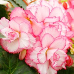 Bouton De Rose Double Amerihybrid Begonia