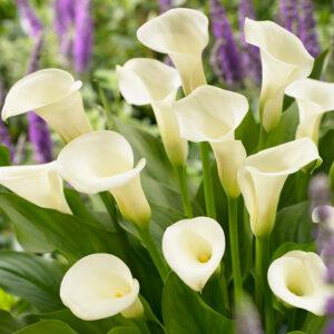 Intimate Queen Calla Lily