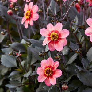 Dahlegria Tri Color Dahlia