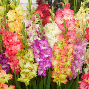 Mixed Parrot Gladiolus