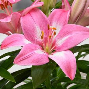 Rozalynn Asiatic Lily