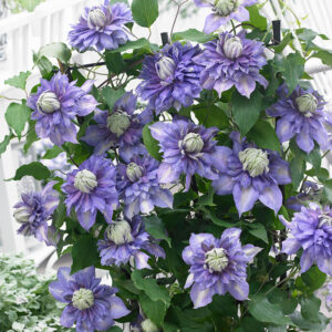 Diamantina Clematis