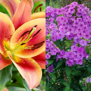 Purple Flame Tall Phlox and Montego Bay Orienpet Lily