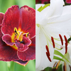 Night Embers Daylily with Casablanca Oriental Lily