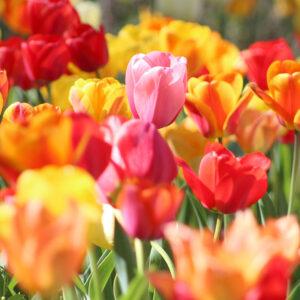 Pastel Mix Triumph Tulips